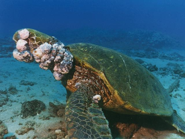 This virus should not be confused with the herpesvirus found in the disease called green turtle fibropapilloma 3