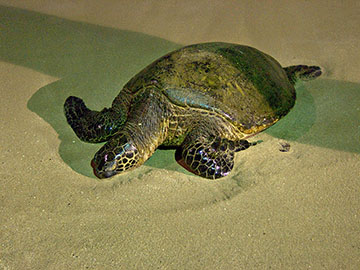 Male honu sleeps on the beach at the Nohonani