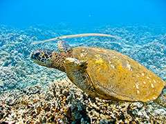 The cornet fish hovers above the honu…