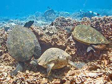 Honu squabbling in a Turtle Trample