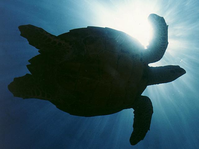 florida manatee and sea turtle efforts essay