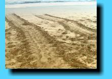 Turtle tracks, Lahaina