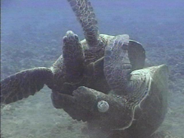 The most puzzling thing about turtle sex is how an animal so universally ...