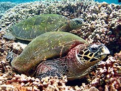 Kiniana and honu resting together