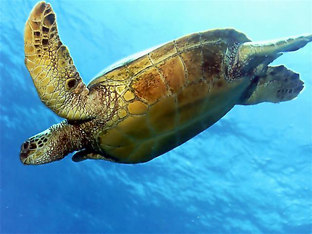 http://www.turtles.org/ffs/mauinews/mnbndt.jpg