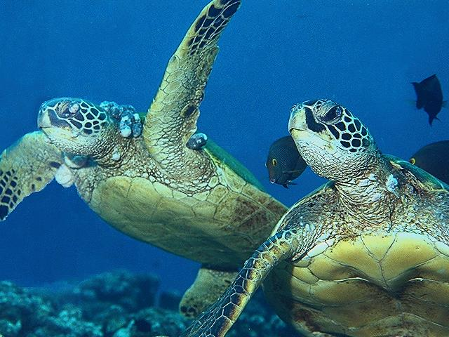 ?sea turtle population essay Sea turtle populations have been earnestly reduced worldwide through a figure of human influences the greatest menace to sea polo-necks is human intervention many nesting countries all over the universe are going scarce due to beach development.