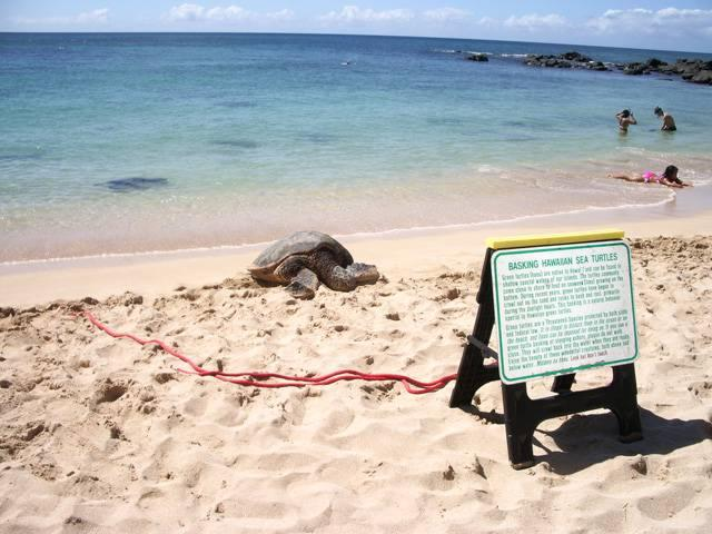 Laniakea, Oahu: Paradise for Turtle Watchers
